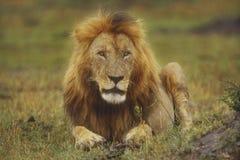 Volwassen mannelijke leeuw Stock Foto