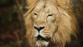 Volwassen Mannelijke Leeuw, Portret in Gevangenschap in Dierentuin, Langzame Motie stock footage