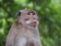 Volwassen mannelijke macaque met lange staart Royalty-vrije Stock Afbeeldingen