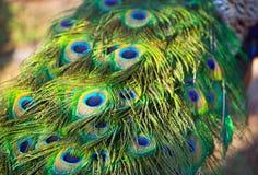 Volwassen mannelijke pauw` s staart Veerclose-up Royalty-vrije Stock Afbeeldingen