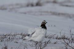 Volwassen mannelijke rotsptarmigan, Lagopus-mutus, die zijn veren verstoren terwijl status in sneeuw stock foto's