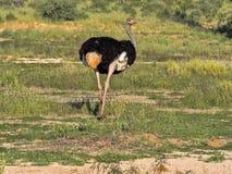 Volwassen mannelijke Struisvogel, Struthio-camelus, in het gras van Kalahari, Zuid-Afrika Stock Foto