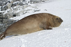 Volwassen mannelijke zuidelijke olifantsverbinding die in de sneeuw Antarct ligt Royalty-vrije Stock Fotografie