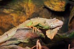 Volwassen mannetje van groene leguaan royalty-vrije stock foto's