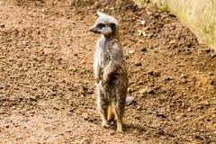 Volwassen Meerkat Royalty-vrije Stock Afbeeldingen