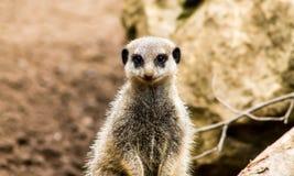 Volwassen Meerkat Royalty-vrije Stock Foto's