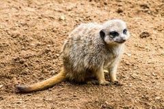Volwassen Meerkat Stock Foto's