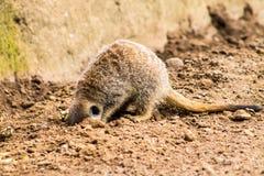 Volwassen Meerkat en Welpen Royalty-vrije Stock Afbeeldingen