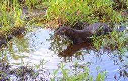 Volwassen Mink die door water en grassen waden stock foto
