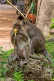Volwassen multi-tasking van de macaqueaap Op het vooruitzicht terwijl het eten van banaan royalty-vrije stock foto's