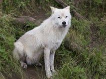Volwassen noordpoolwolfszitting in gras stock fotografie