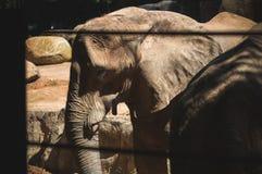 Volwassen olifant status Stock Fotografie