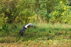Volwassen ooievaar in zijn natuurlijke habitat Royalty-vrije Stock Foto's