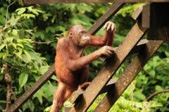 Volwassen Orangoetan Royalty-vrije Stock Afbeeldingen