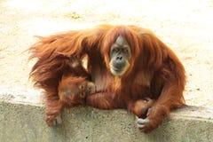 Volwassen orangoetan met hun kindzitting op een beschermd gebied stock foto