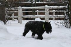 Volwassen Reuzeschnauzer draaft door de sneeuw royalty-vrije stock afbeelding