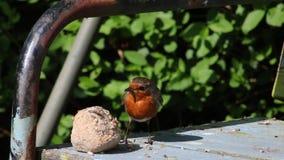 Volwassen Robin, erithacusrubecula, die voedsel verzamelen stock videobeelden