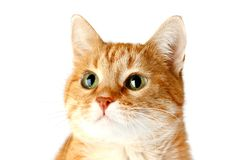 Volwassen rode die kat op witte achtergrond, katten` s snuit wordt geïsoleerd royalty-vrije stock afbeeldingen