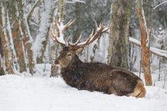 Volwassen rode edele herten met grote die hoornen met sneeuw worden behandeld, die in snow-covered bosherten op de sneeuw rusten  Stock Afbeeldingen