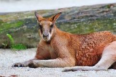 Volwassen rode kangoeroe Stock Fotografie