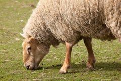 Volwassen schapen stock afbeelding