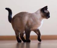 Volwassen siamese kat Stock Foto's