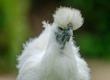 Volwassen Silkie-kip gezien bekijkend de camera in haar tuin stock foto's