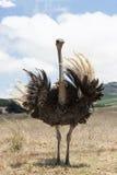 Volwassen struisvogel Royalty-vrije Stock Foto's