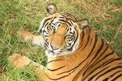 Volwassen tijger die camera bekijken Royalty-vrije Stock Foto