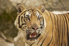 Volwassen tijger Tussen Indië en China Royalty-vrije Stock Fotografie