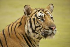 Volwassen tijger Tussen Indië en China Stock Fotografie