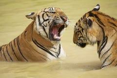 Volwassen tijgersstrijd Tussen Indië en China in het water Royalty-vrije Stock Foto's