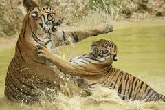Volwassen tijgersstrijd Tussen Indië en China in het water Royalty-vrije Stock Afbeeldingen