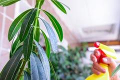 Volwassen vrouwelijke handen die water op binnenhuisinstallatie bespuiten Huishoudenconcept Selectieve nadruk Stock Foto's