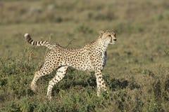 Volwassen Vrouwelijke Jachtluipaard (jubatus Acinonyx) Tanzania Stock Fotografie