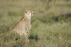 Volwassen Vrouwelijke Jachtluipaard (jubatus Acinonyx) Tanzania Stock Foto's