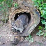 Volwassen wasbeer bij zijn nest Stock Afbeelding