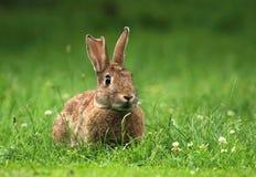 Volwassen wild konijn Royalty-vrije Stock Afbeelding