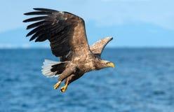 Volwassen wit-De steel verwijderde van adelaars visserij Blauwe oceaanachtergrond Wetenschappelijke naam: Haliaeetusalbicilla, al royalty-vrije stock fotografie