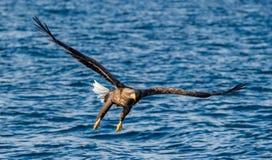 Volwassen wit-De steel verwijderde van adelaars visserij Front View Blauwe oceaanachtergrond Wetenschappelijke naam: Haliaeetusal stock foto