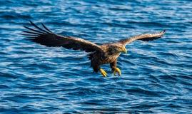 Volwassen wit-De steel verwijderde van adelaars visserij Front View Blauwe oceaanachtergrond Wetenschappelijke naam: Haliaeetusal stock fotografie