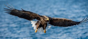 Volwassen wit-De steel verwijderde van adelaars visserij Front View Blauwe oceaanachtergrond Wetenschappelijke naam: Haliaeetusal stock afbeeldingen