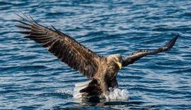 Volwassen wit-De steel verwijderde van adelaars visserij Front View Blauwe oceaanachtergrond Wetenschappelijke naam: Haliaeetusal royalty-vrije stock afbeelding