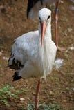 Volwassen witte storkin een gebied stock afbeeldingen