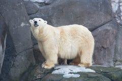 Volwassen witte zij-beer Royalty-vrije Stock Foto