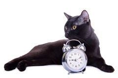 Volwassen zwarte kat Stock Foto's