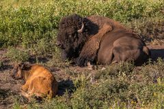 Volwassene en Babybuffels in Custer State Park in Zuid-Dakota stock afbeeldingen