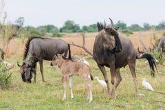 Volwassene en kalf Blauwe Wildebeest (Connochaetes-taurinus) met catt Royalty-vrije Stock Foto's