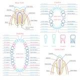 Volwassene en melktand tandanatomievector stock illustratie