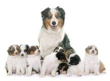 Volwassene en puppy Australische herder stock afbeeldingen